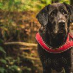 Wie hoch sind die monatlichen Kosten für einen Labrador?