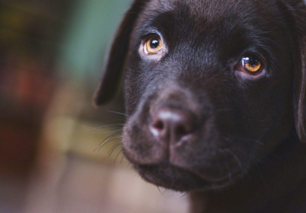 So viel Auslauf braucht ein Labrador Welpe