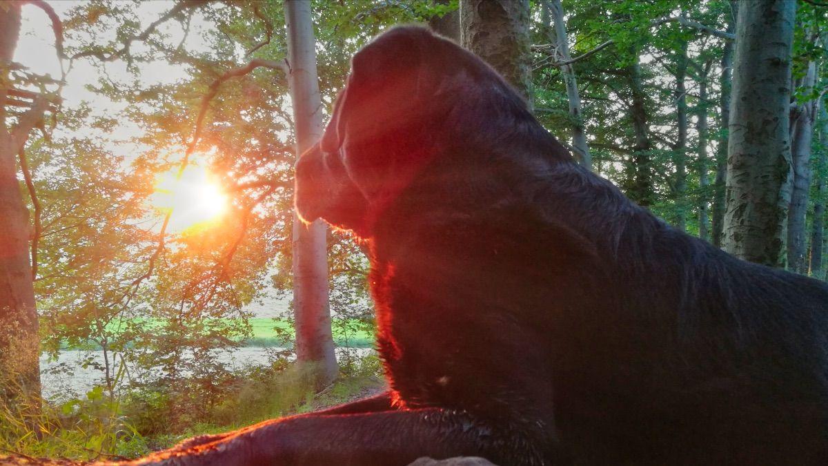 Wie viel Auslauf braucht ein Labrador?