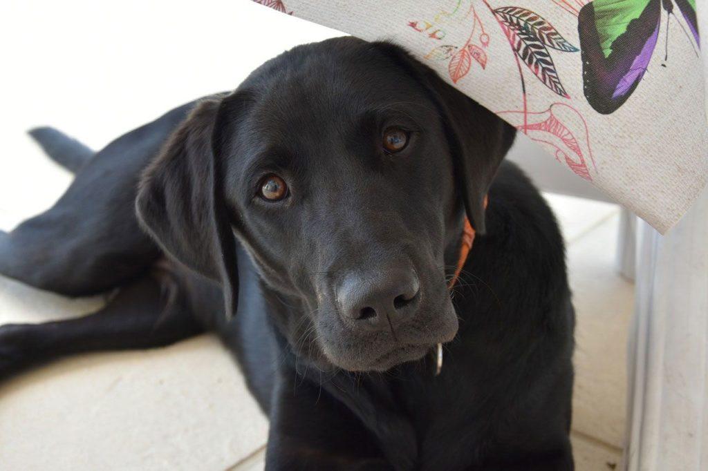 Der Blick, wenn dein Labrador alleine bleiben soll.