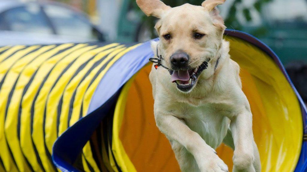 Labrador mit Agility Training ruhiger werden lassen