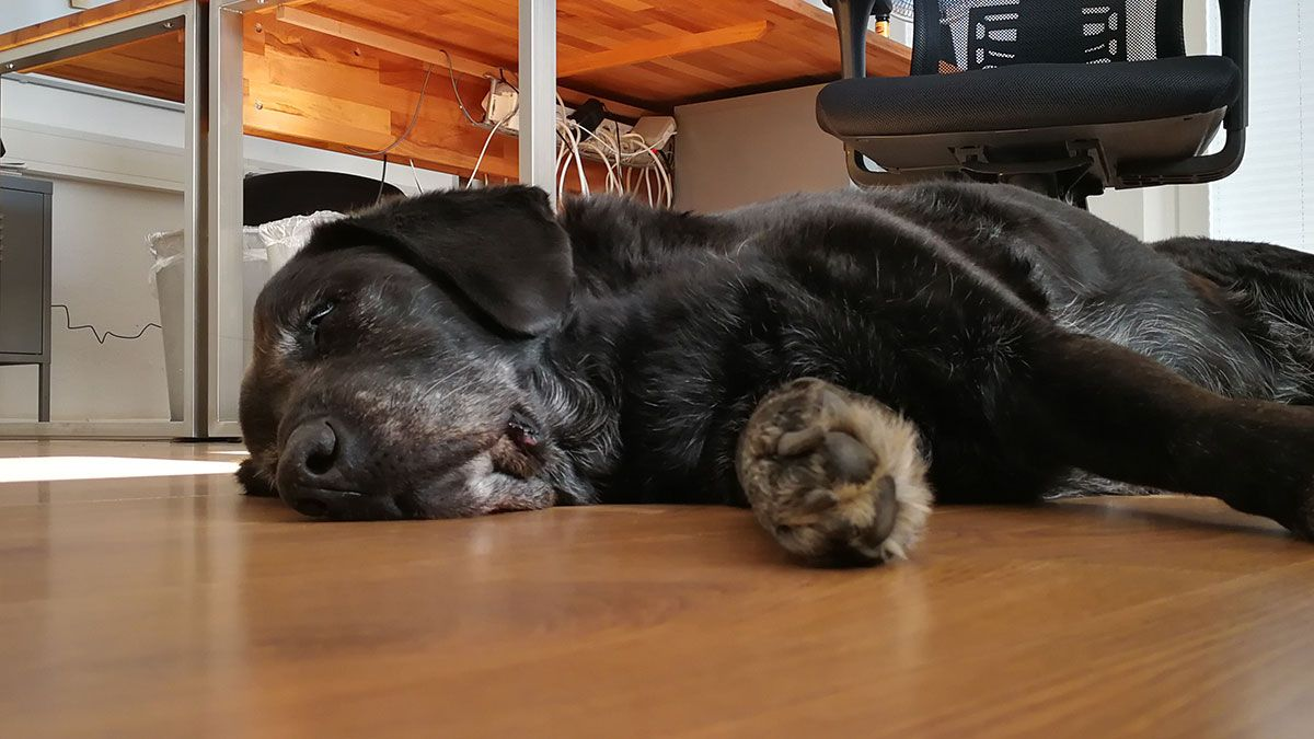 Wie lange kann ein Labrador alleine bleiben?