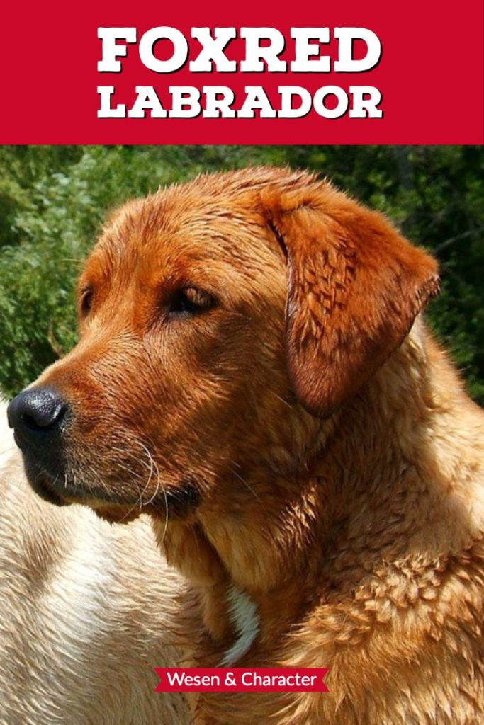 Alles zum Charakter des Foxred Labrador Retriever