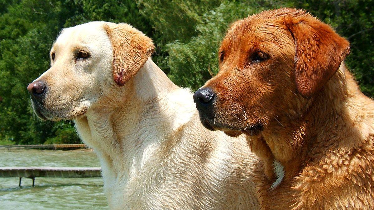 Foxred Labrador Wesen und Charakter
