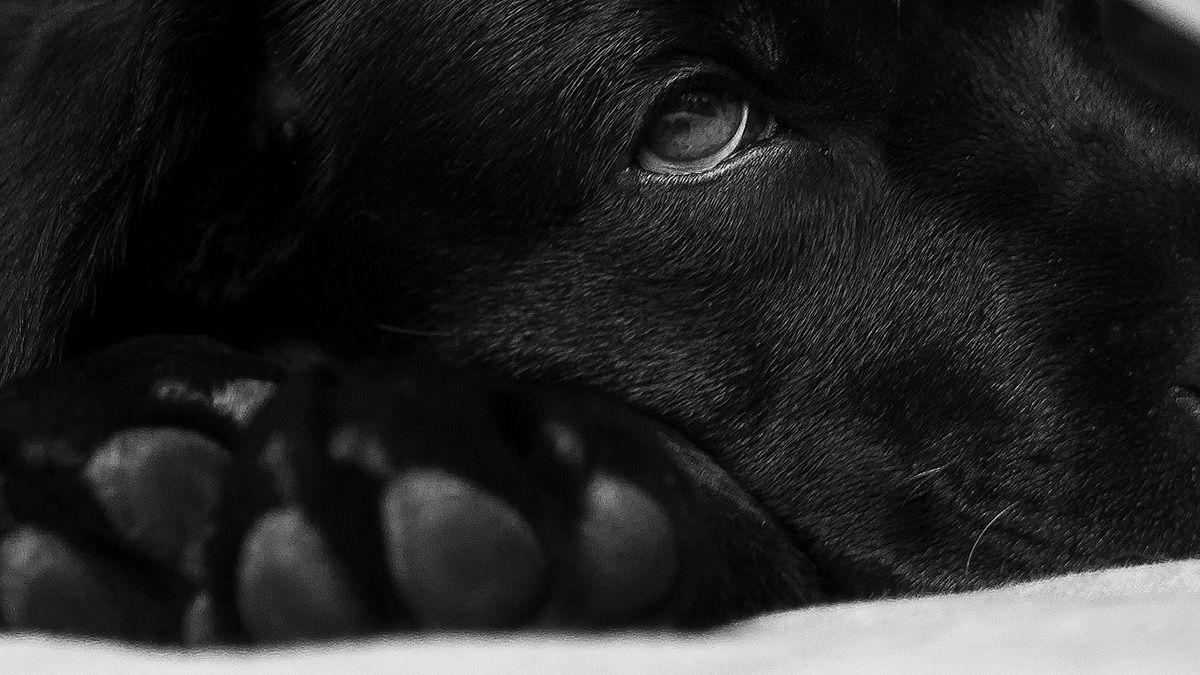 Labrador Fellwechsel - Dauer und Tipps