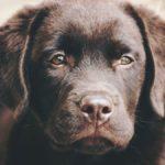 Wie viel kostet ein Labrador Welpe im Tierheim?