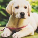 Welche Leine für Labrador Welpen