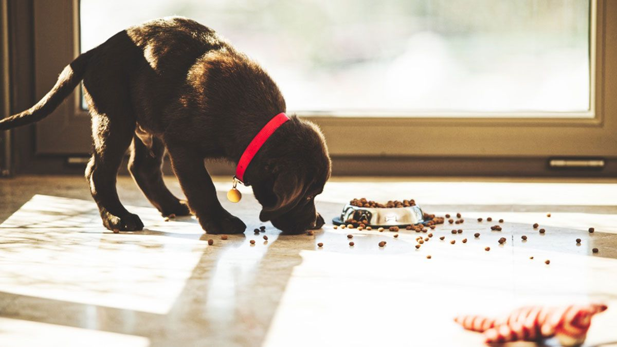 Welches Futter für Labrador Welpen