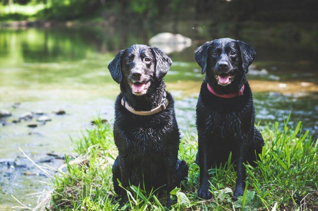 Den Fellwechsel beim Labrador durch Schwimmen unterstützen