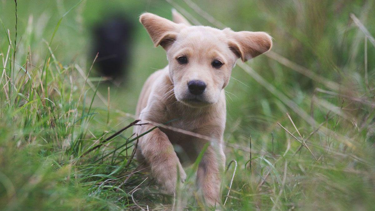 Welche Leckerlis sind für Labrador Welpen gut?