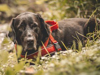 Warum sind Labradore so beliebt?