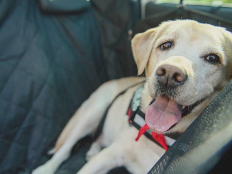 Labrador im Auto transportieren
