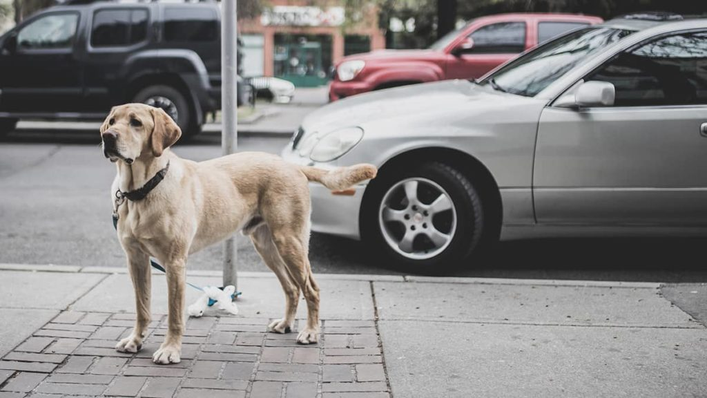 Labrador vor der Autofahrt