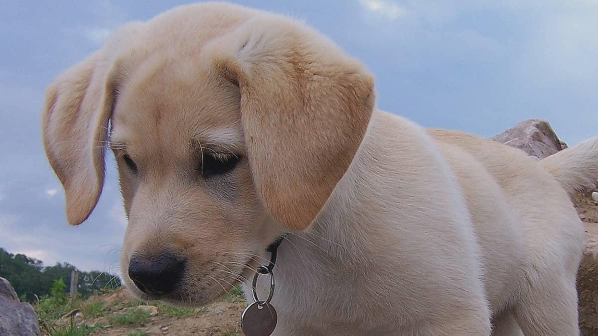 Mini Labrador